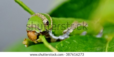 Close up of green King Page Swallowtail Caterpillar