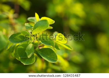 Close up of green leaves, brightly backlit against  blur background