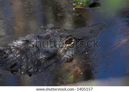 close up of grown up alligator