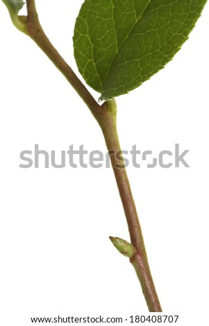close up of leaf and branch on white