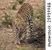 Close-up of Leopard walking in field; Panthera pardus; South Africa - stock photo