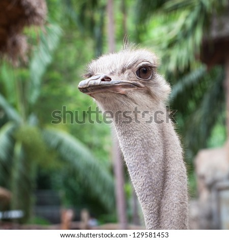 Close up of Ostrich head while looking to something
