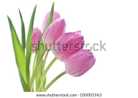 close up of pink tulips on white background