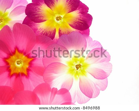 Close-up of primula flowers against white background