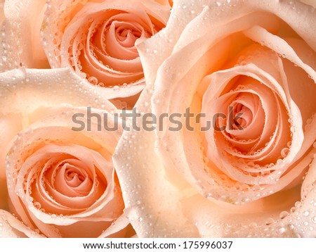 Close up of rose flower