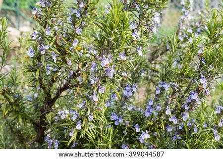 close-up of rosemary plant with flowers
