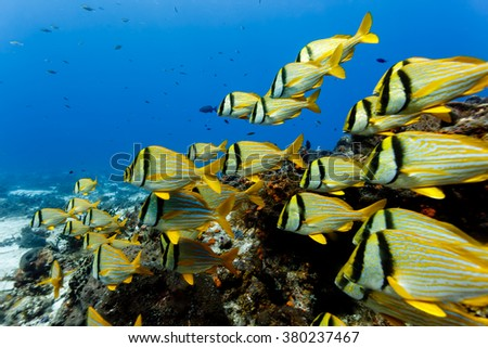 close up of school of Porkfish, Anisotremus virginicus, swimming on coral reef