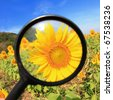 Close up of sunflower by magnifying glass - stock photo