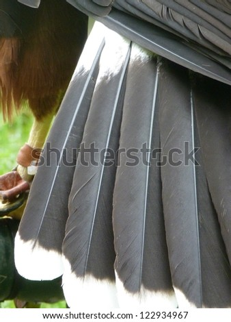 Close-up of tail feathers of a Harris's Hawk
