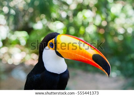 Close-up of the toco toucan Ramphastos toco.