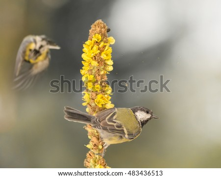 close up of titmouse standing on to a yellow flower while another tit just left and flying blurry in background