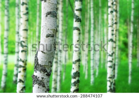 Close up of trunk of birch tree in grove with bright green colors