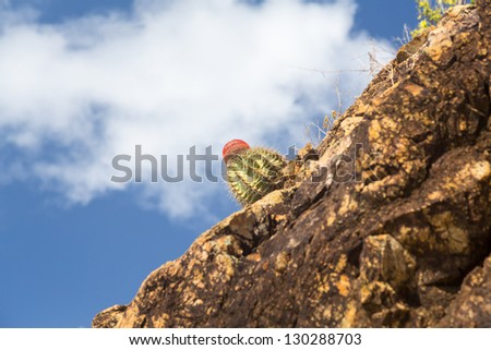 Close up of Turks Cap or Head cactus growing in rocks by sea in St Thomas Caribbean
