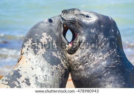 Close-up of two elephant seals fighting with wide open mouths in Patagonia, Argentina