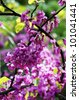 Close up of violet blossoming Cercis siliquastrum plant at Caucasus area - stock photo