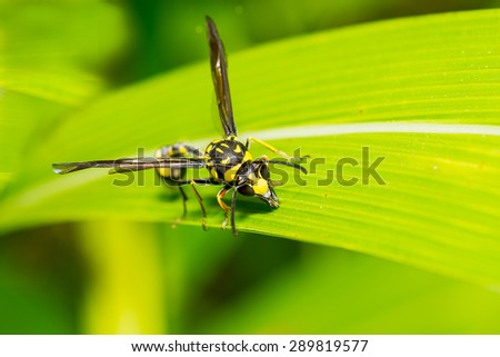 Close up of wasp on green leaf with blurred background of bush