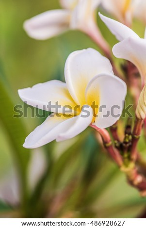 Close up of white Frangipani flowers, Thailand