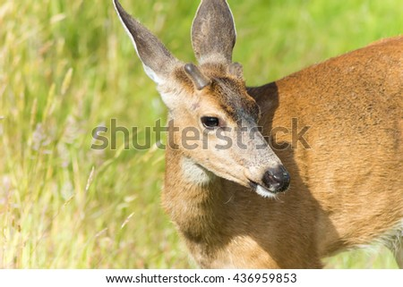 Close up of Young Buck with Head Turned Sideways looking at the Camera