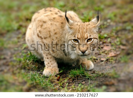 Close-up of young Eurasian Lynx in forest