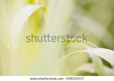 Close-up of young yellow leaves of grass. Soft focus.