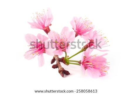 Close up Pink Cherry blossom, sakura flowers on white background