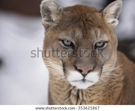 Close up portrait image of a cougar, mountain lion, puma, panther.  Soft focus with shallow depth of field.