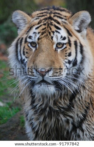 close up portrait of a wet tiger