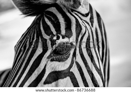 Close-up portrait of a zebra's head