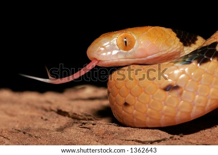 Close-up portrait of an Eastern tiger snake (Telescopus semiannulatus), South Africa