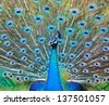 Close-up portrait of beautiful peacock - stock photo