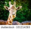 Close up portrait of giraffe - stock photo