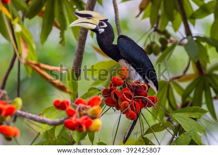 Close up portrait of Oriental pied hornbill(Anthracoceros albirostris) with red fruit in nature at Kengkracharn National Park,Thailand