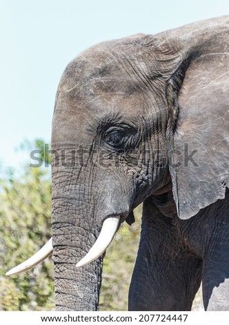 Close-up portrait the lone elephant in african savannah in national park Chobe, Botswana