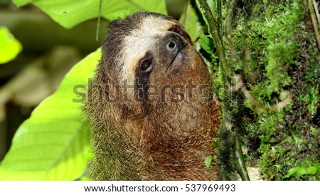 Close up shot of a Three-toed sloth going up a tree