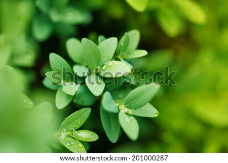Close-up shot of green bush boxwood after rain,  background