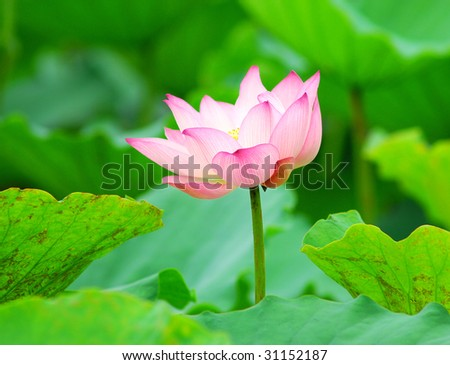 Close up shot of pink lotus.Look at my gallery for more lotus.