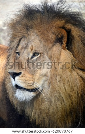 Laughing Lion Stock Photo 31285267 - Shutterstock