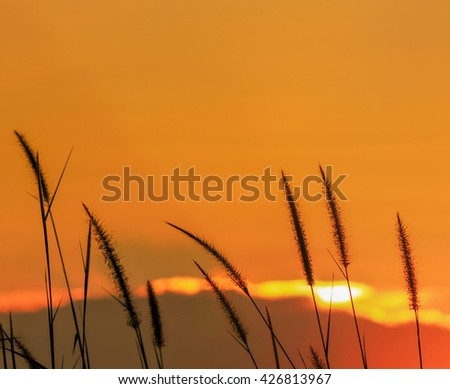 Close up silhouette setaceum pennisetum fountain grass on sunset background selective focus.