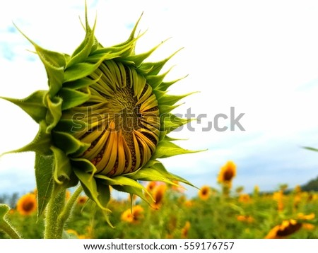 close up the young sunflower in sunlight