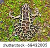 Close-up view of a Pickerel Frog (Rana palustris) - stock photo