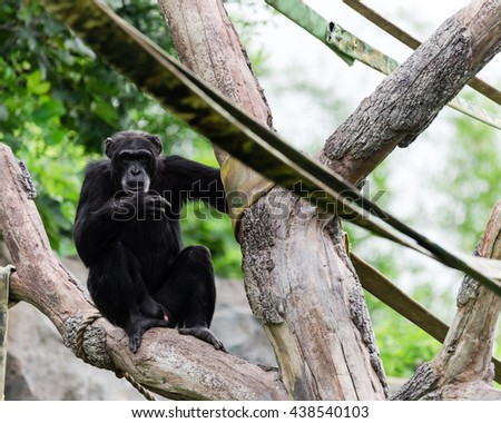 Close-up view of a single adult chimpanzee (Pan troglodytes) in the zoo with green natural background. It is from Western & Central Africa range.