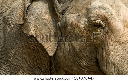 Close up view of an Asian elephant, Elephas maximus