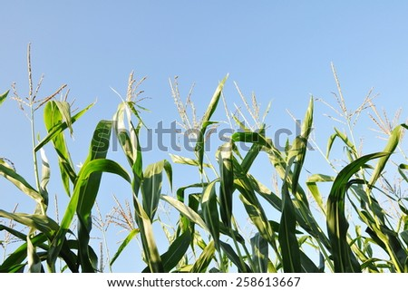 Close-up View of Crops Growing on Farmland against a Clear Blue Sky