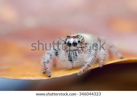 close up view of Hyllus diardi Jumping Spider on the leaf with selective focus on eye