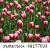 close up view of red tulips in the garden. - stock photo
