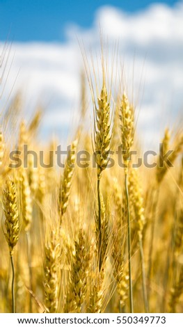 Close up view of wheat ear against blue sky