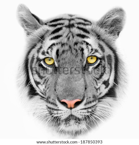 Close up White tigers face, isolated on white background.