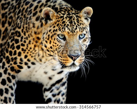 Close up wild leopard on the dark background