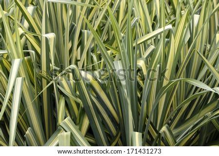 Liriope grass like perennial variegated foliage stock for Tall green ornamental grass