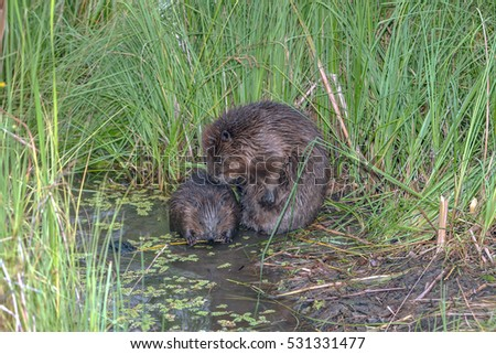 closeup beaver sit near a pond on a background of green reeds